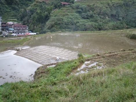 rice nursery