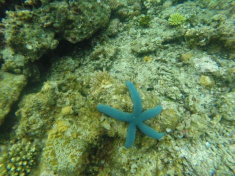 beautiful blue starfish