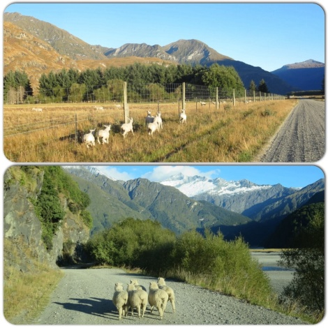 and of course, sheep! some of which did not want to let us pass.