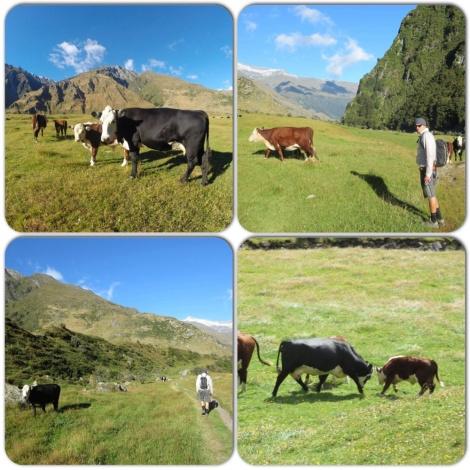 hiking among the cows