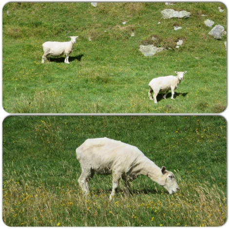 sheep (obviously recently sheared)