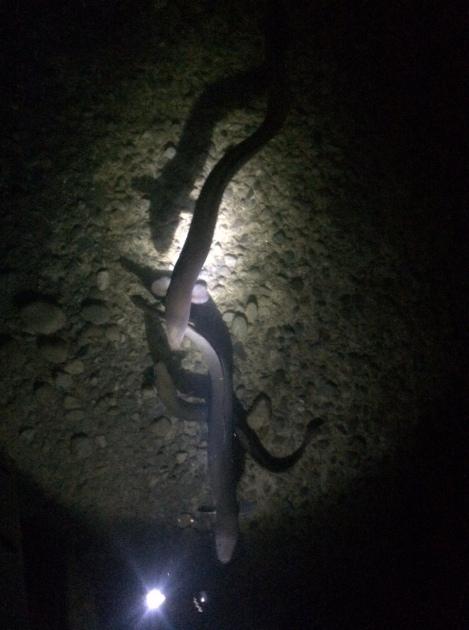 swarm of eels