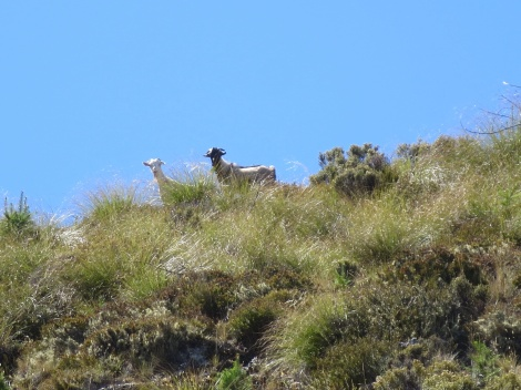 a couple mountain goats checking us out as we check them out