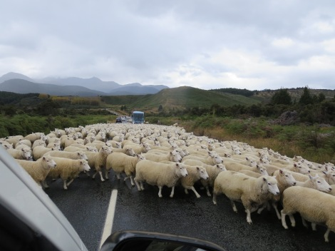 sheep take over the road