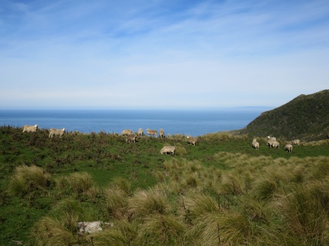 I feared these sheep might go over the cliff's edge