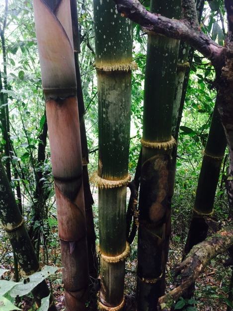 the biggest bamboo trees we've ever seen (should have stood next to them for perspective)