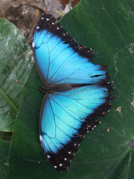 morpho elenor...this is butterfly we kept seeing in the amazon, even more beautiful up close!