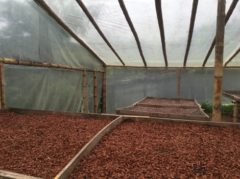 drying the beans after fermintation