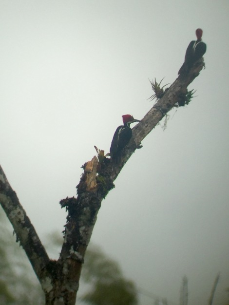 guayaquil woodpeckers