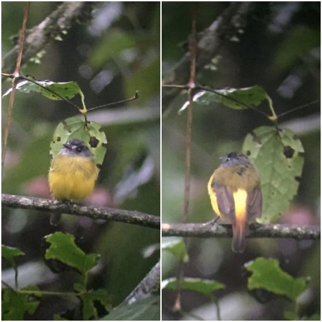 the first bird we saw, an ornate flycatcher...it poised nicely for the camera, showing us both sides