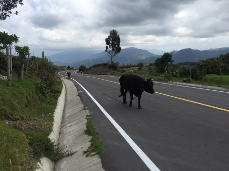 the last 1.5 miles were on a paved road, which was kind of disappointing...but it was entertaining to see the cows trekking along down the road